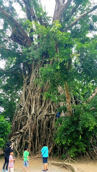 the millenium tree! one of the largest trees in asia..